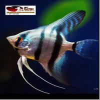 Ikan Hias Manfish Angel