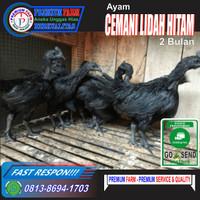 AYAM CEMANI LIDAH HITAM / 2 Bulan / Ayam Hitam asli indonesia /