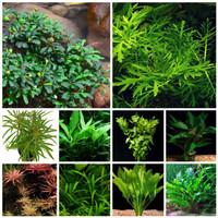 paket stemplant low light & low co2 (tanaman aquascape)dutch style