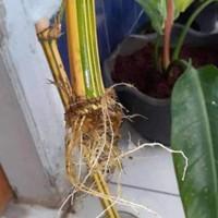 Bambu kuning penangkal setan murah