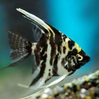 ikan layang layang manfish air tawar baby