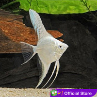Manfish White Platinum / Angel FIsh / Ikan Hias Aquascape / Air Tawar