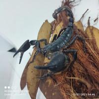 asian forest scorpion afs / kalajengking hutan asia