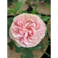 Tanaman Bunga Mawar Import Charming Piano - david austin rose wangi