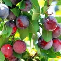 bibit plum aussie