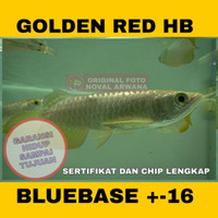 Ikan Hidup Arwana / Arowana Golden Red Highback HB / Bakat BLUEBASE 16