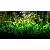 paket stemplant low light & low co2 ( tanaman aquascape ) - hanya tanaman