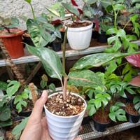 aglonema red Tiara
