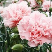 Benih/Bibit/Seeds Bunga Anyelir Merah Muda / Pink Carnation