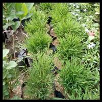 Bibit Tanaman Hias Bambu China Mini - Mikro - Cantik - Rimbun