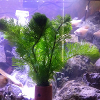 tanaman aquascape kabomba