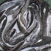 ikan lele segar 1kg hidup