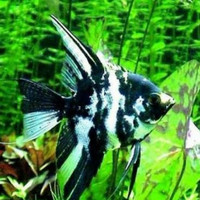 ikan manfish tricolor