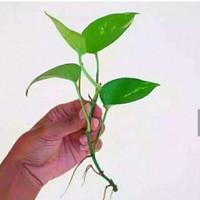 Tanaman Sirih gading Tanaman bisa hidup di air tanaman Aquascap