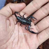 Baru Asian Forest Scorpion (Heterometrus Longimanus)