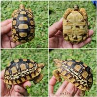 Leopard Pardalis HI WHITE! Kura darat, Tortoise bukan sulcata/aldabra
