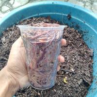 Cacing tanah limbircus hidup organik 500gr