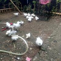 anak ayam kapas putih usia 2-3 minggu