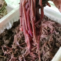 cacing tanah hidup