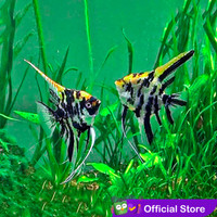 Manfish Tricolor / Angel FIsh / Ikan Hias Aquascape / Air Tawar