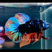 Ikan Cupang Avatar Nemo Male Top Grade (Real Foto)   Pet Festival