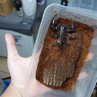 KALAJENGKING heterometrus longimanus . Asian Forest Scorpion . HIDUP