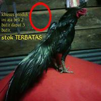 cdc Ayam bangkok Aduan super pakhoy black asli telur fertil siap tetas