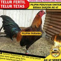cdc Telur Ayam Fertil / Telur Tetas Ayam AK 47 Pilipin Philipin Switer