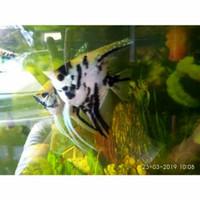 Ikan Manfish trhee colour tiga warna, ikan layang layang