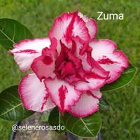 Benih/Bibit/Biji Tanaman Hias Adenium ID: ZUMA