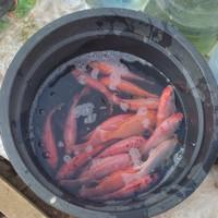 paket bibit calon indukan ikan nila kakap merah isi 4 ekor