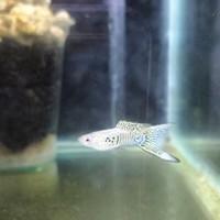 Ikan Guppy Viena Emerald Bottom Sword