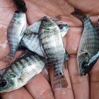 bibit ikan mujair nila hitam hidup