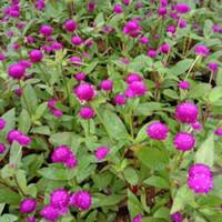 tanaman bunga knop kancing