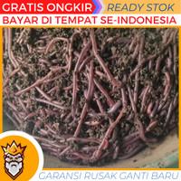 cacing tanah hidup lumbricus anc kalung merah tipes pakan ikan
