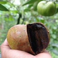 Bibit Buah Black Sapote 60-100 cm Dewasa Tanaman Tabulampot Buah Murah