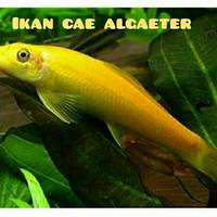 Ikn cae alga eater aquascape