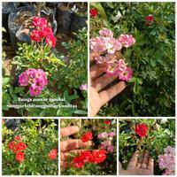 Tanaman Mawar Climbing Noisette ( Pink )
