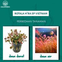 rotala H'ra ( rotall vietnam ) tanaman air aquascape aquarium