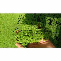 Rumput Azola / Bibit Azolla pinata microphyla Azola Pakan Ikan