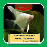 IKAN HIAS AIR TAWAR - ANGELFISH / MANFISH ALBINO / PLATINUM (±2cm)