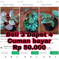 Paket Promo Begonia 50ribu Dapet 3 + Bonus 1 Random - SAP Garden