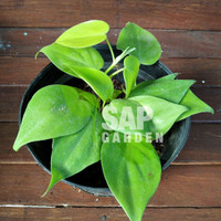 Tanaman Hias Sirih Gading Philo Sirih Lemon Heart Rimbun - SAP Garden