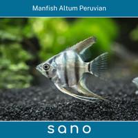Manfish Altum Peruvian Ikan Hias Aquascape
