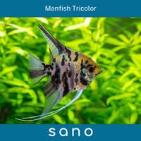 Manfish Tricolor Ikan Hias Aquascape