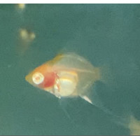 Ikan Manfish Angelfish Red Cap Albino RCA size 1 cm