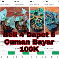 Paket Promo Begonia 100ribu Dapet 4 + Bonus 1 Begonia - SAP Garden