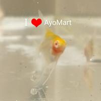 Anakan Burayak Ikan hias Angelfish Manfish Layang'' Albino Red Cap Koi