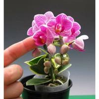 Anggrek Phalaenopsis Bulan Varigata Remaja Spike