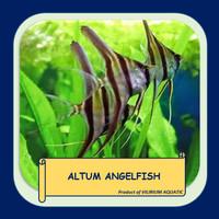 IKAN HIAS AIR TAWAR - ANGELFISH / MANFISH ALTUM
